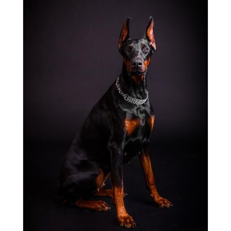 Doberman Photo Diamo...