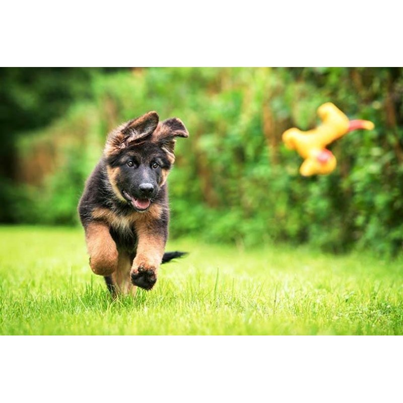 German Shepherd Pupp...