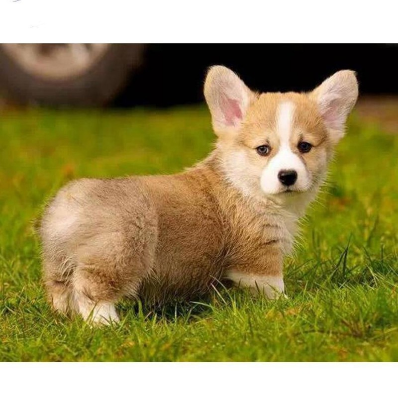 Corgi Dog Diamond Pa...